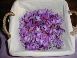 image-fleur-de-safran